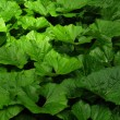 Burdock leaves — Stock Photo