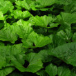 Stock Photo: Burdock leaves