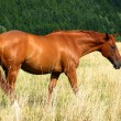 Royalty-Free Stock Photo: Bay horse