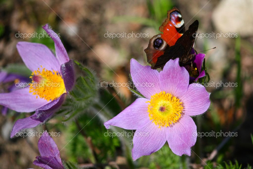 Pulsatilla grandis — Stock Photo #6511054