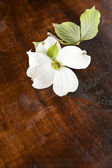 White Dogwood Wood Background — Stock Photo