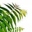 Leaves of acacia — Stock Photo