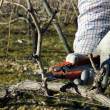 Stock Photo: Worker pruning grapevines