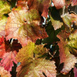 Stock Photo: Grapevines in autumn