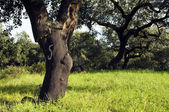 Cork tree forest (Quercus suber) — Stock Photo