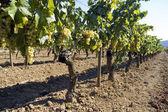Rows of vines in vineyard — Stock Photo
