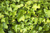 Closeup of ivy vines — Stock Photo