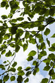 Mulberry leaves — Stock Photo