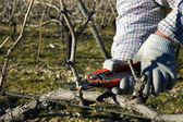 Worker pruning grapevines — Stock Photo