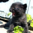 Black kitty to cry — Stock Photo