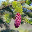 Cones a fur-tree — Stock Photo