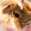 Baby Guinea pig - Stock Photo