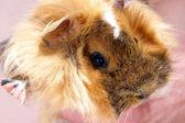 Baby Guinea pig — Stock Photo