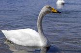 Whooper swan — Stock Photo