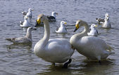 Swan and seagulls — Stock Photo