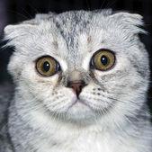 Surprised cat — Stock Photo