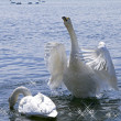 Inspired declaration of love white swan — Stock Photo