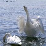 Inspired declaration of love white swan — Stock Photo