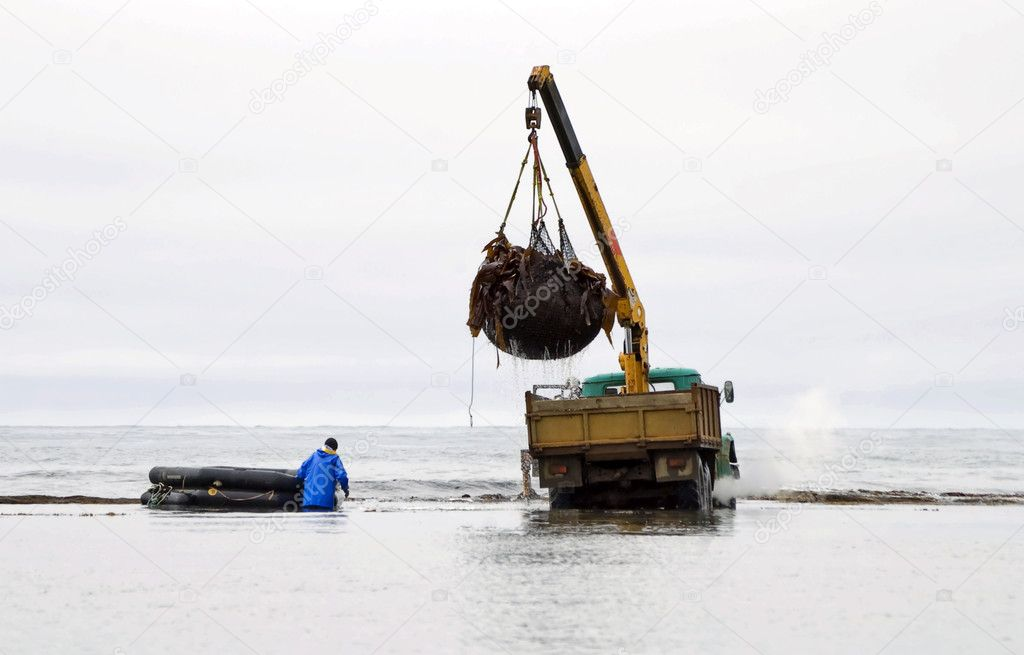 Loading of the laminaria  extracted in coastal waters of island Sakhalin, Pacific ocean — Stock Photo #5741903