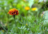 Marigold on blur background — Stock fotografie