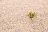 один небольшой сосна на песке. горизонтальные — Стоковое фото