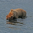 Grizzly Looking for Fish in the Fraser River — Stock Photo