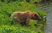 Grizzly sniffing the air — Stock Photo
