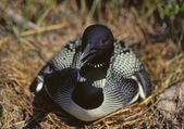 Loon defending its nest — Stock Photo