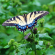 Eastern Tiger Swallowtail — Stock Photo #5543663