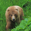 Foto de Stock  : Young Bear in wilds