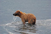 Grizzly on Kodiak Island — Stock Photo