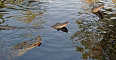 Alligators in the Bayou — Stock Photo