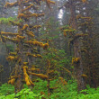 Foto Stock: Fog, moss, and SitkSpruce