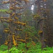 Foto de Stock  : Fog, moss, and SitkSpruce