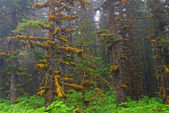 Fog, moss, and Sitka Spruce — Stock Photo