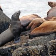 Sea lions on the coast of Alaska — Stock Photo
