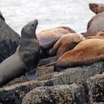 leones marinos en las costas de alaska — Foto de Stock   #6169113