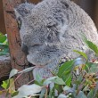 Koala asleep in the trees — Stock Photo