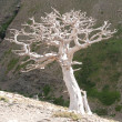 Stark tree on mountain slope — Stock Photo #6502468