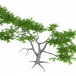Whitethorn acacia or Acacia constricta - Stock Photo