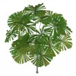 Australian Fan Palm or Licuala ramsayi — Stock Photo