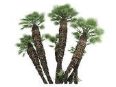 European Fan Palm or Chamaerops humilis — Stock Photo