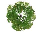 Australian Fan Palm or Licuala ramsayi — Stock Photo