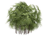 Lady Palm or Rhapis excelsa — Stock Photo