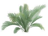 Cat Palm or Chamaedorea cataractum — Stock Photo