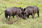Lucha contra dos warthog — Foto de Stock
