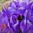 Bumblebee on the Crocus-1 — Photo