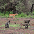 Baboons na impala - Stock Photo