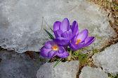Crocus flowers with snow — Stock Photo