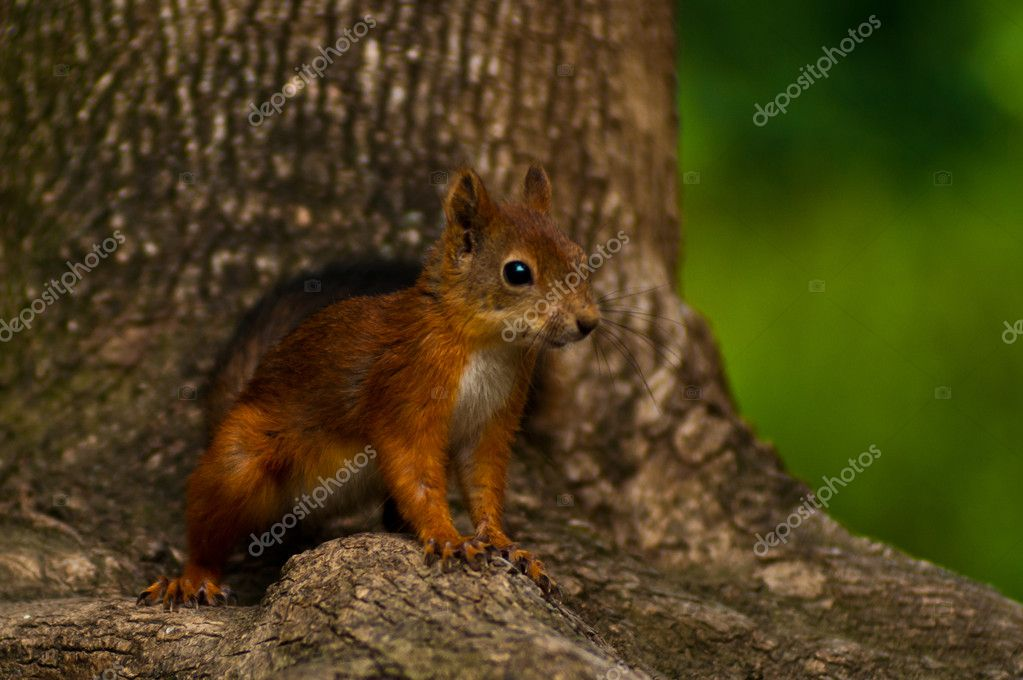 Grey Squirrel on the tree — Stock Photo #6368157